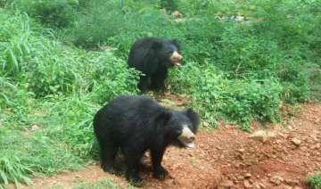 project to restore habitat for sloth bears in...