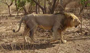 lion to replace tiger as national animal - India...