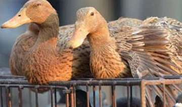 bird flu in manipur culling of fowl starts -...