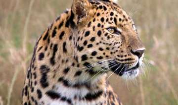 leopard killed after injuring five in bengal -...