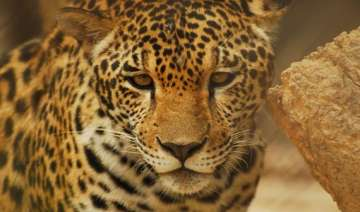 leopard rescued from dry well in tamil nadu -...