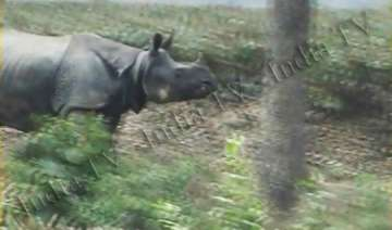 rhinoceros strays into assam tea garden - India TV