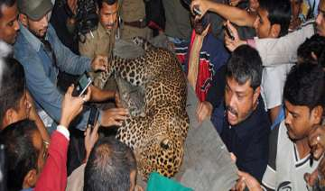stray leopard caught in guwahati one injured -...