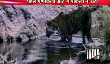 straying tiger trapped near lucknow - India TV