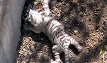 two tiger cubs die in indore zoo - India TV