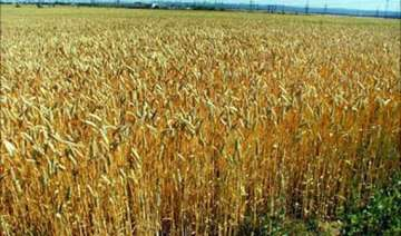 untimely showers cause maximum crop loss in...