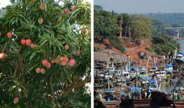 who will buy our alphonso mangoes ask jaitapur...