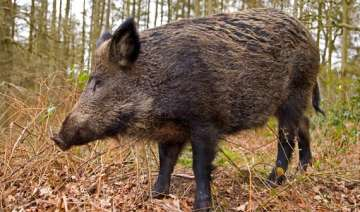 wild boar kills man in odisha villagers attack...