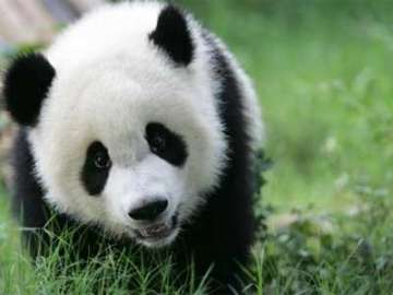 Do you know why Pandas are black and white -...