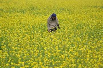 Take considered view on allowing GM mustard crop,...