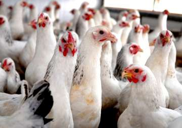 indian poultry farms antibiotic resistance