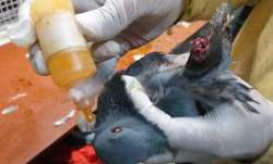 A bird, hit by Chinese manjha, being treated at a Delhi