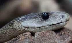 Snake ancestors had legs, cheekbones 100 million years ago: