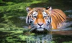 Sumatran tiger foetuses found in jar in Indonesia