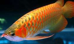 Vastu Tips: Keep Arowana fish at home for good luck