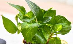 Vastu Tips: Keeping money plant at home brings good luck