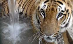 Tiger at New York's Bronx Zoo tests positive for COVID-19