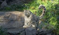 snow leopard tests covid positive